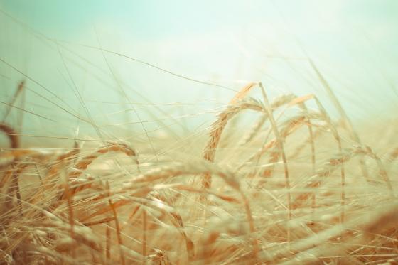 dreamy-grain-field-picjumbo-com